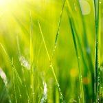 Ryto žolė saulės spinduliuose