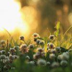 Ryto žolė